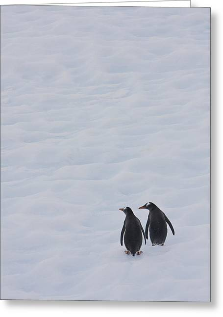 Rearview Greeting Cards - Gentoo Penguins Climb The Side Of An Greeting Card by Ron Watts