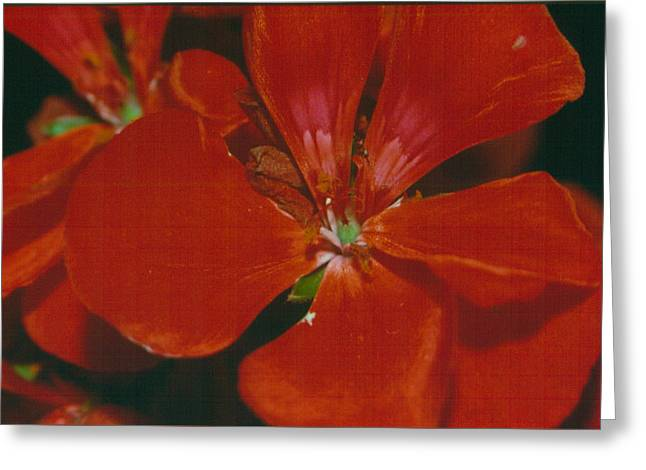 Red Geraniums Drawings Greeting Cards - Geranium Greeting Card by Nena Trapp