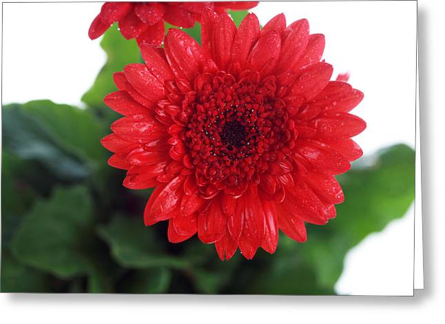 Petals Framed Prints Greeting Cards - Gerber Daisy Greeting Card by Michael Ledray