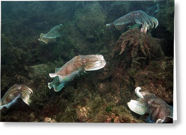 Aquatic Display Greeting Cards - Giant Cuttlefish Greeting Card by Georgette Douwma