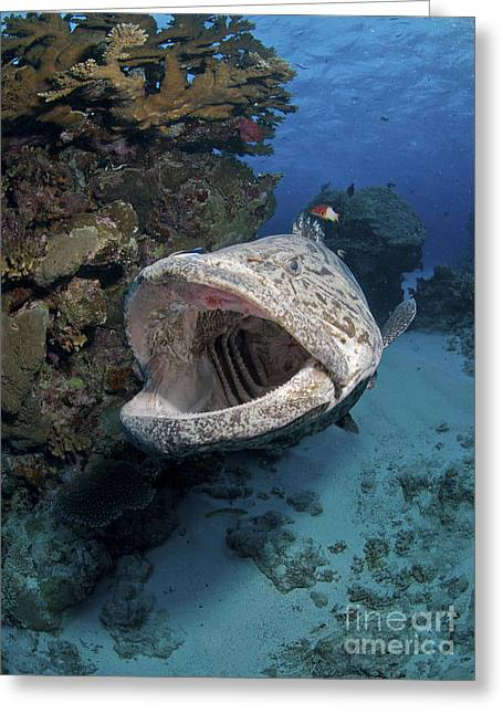 Great Barrier Reef Greeting Cards - Giant Grouper, Great Barrier Reef Greeting Card by Mathieu Meur