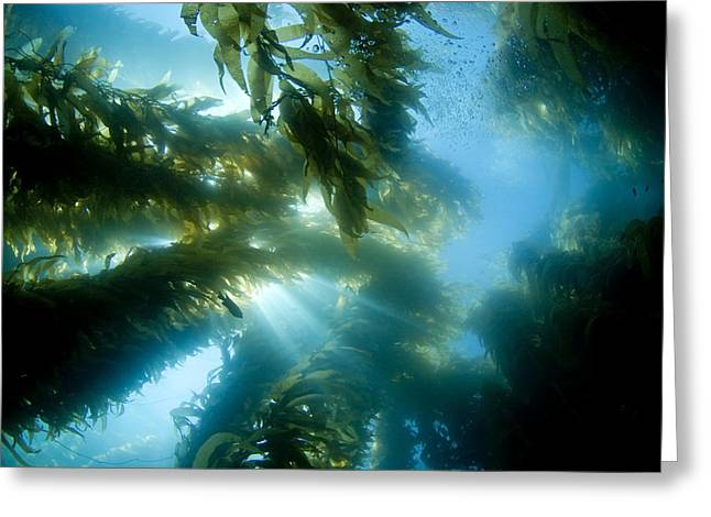 Giant Kelp Forest Greeting Card by Dave Fleetham - Printscapes