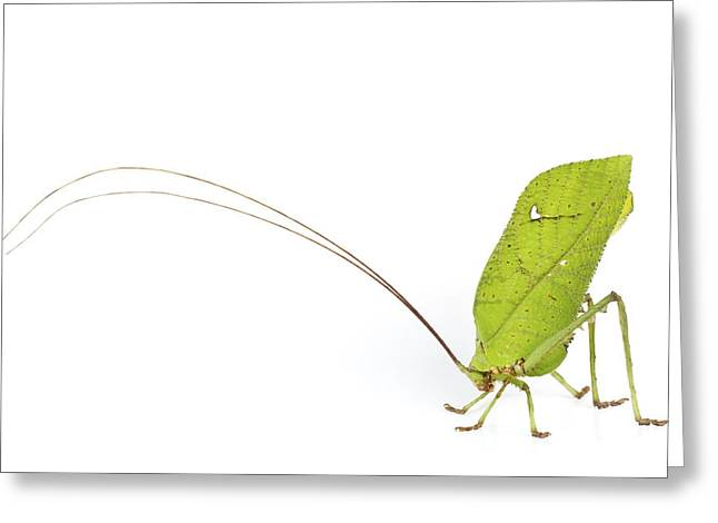 Katydid Greeting Cards - Giant Leaf Katydid Barbilla Np Costa Greeting Card by Piotr Naskrecki