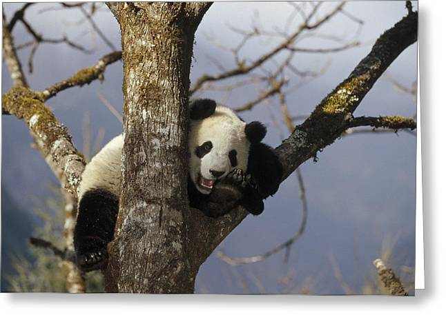 Giant Panda Ailuropoda Melanoleuca Greeting Card by Konrad Wothe
