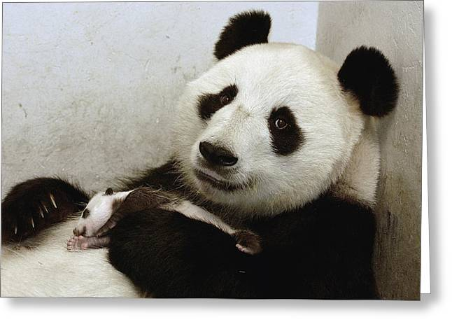 Looking For Love Greeting Cards - Giant Panda Ailuropoda Melanoleuca Xi Greeting Card by Katherine Feng