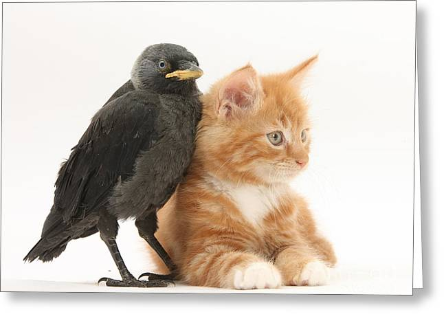 Jackdaws Greeting Cards - Ginger Kitten And Baby Jackdaw Greeting Card by Mark Taylor