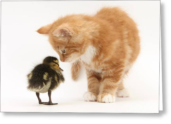 Baby Mallards Greeting Cards - Ginger Kitten And Mallard Duckling Greeting Card by Mark Taylor