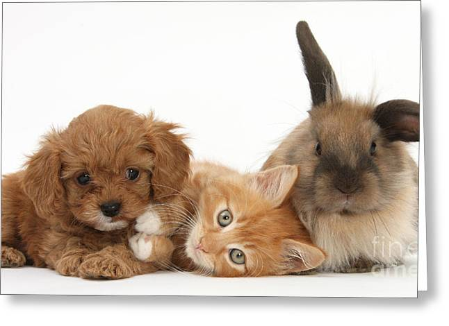House Pet Greeting Cards - Ginger Kitten With Cavapoo Pup Greeting Card by Mark Taylor
