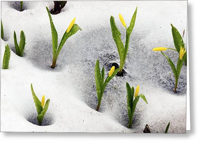 Dewdrops Greeting Cards - Glacier Lilies (erythronium Grandiflorum) Greeting Card by Bob Gibbons