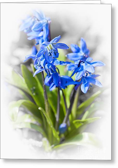 Flowering Greeting Cards - Spring blue flowers wood squill Greeting Card by Elena Elisseeva
