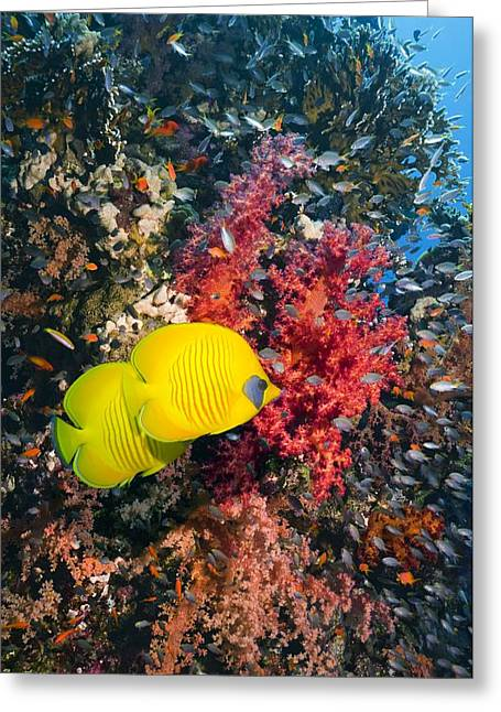 Chaetodon Semilarvatus Greeting Cards - Golden Butterflyfish Greeting Card by Georgette Douwma