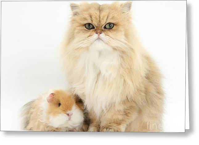 House Pet Greeting Cards - Golden Chinchilla Persian Cat Greeting Card by Mark Taylor