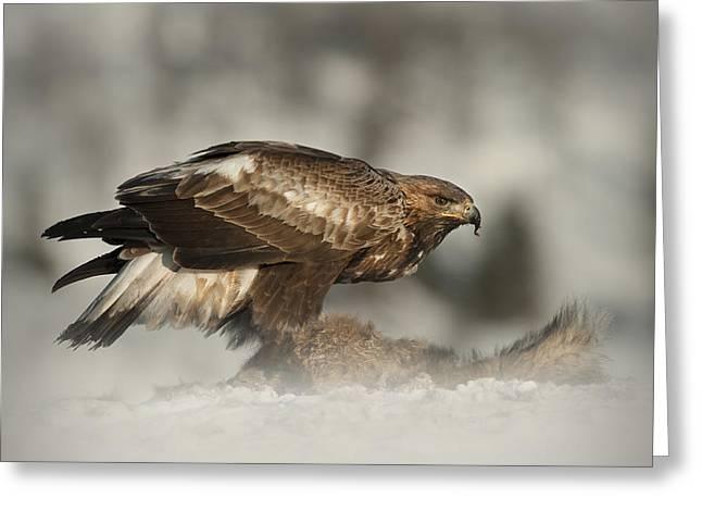 Feeding Birds Greeting Cards - Golden Eagle Greeting Card by Andy Astbury