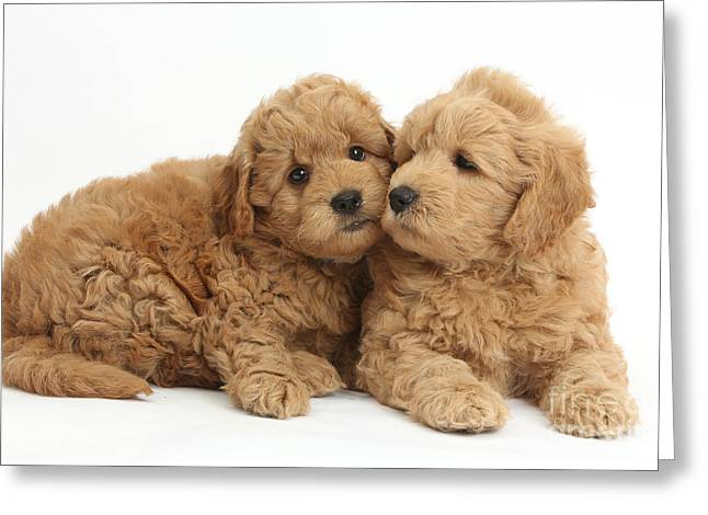 Goldendoodle Greeting Cards - Goldendoodle Puppies Greeting Card by Mark Taylor