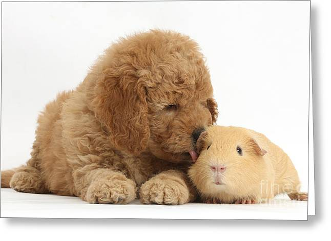 Goldendoodle Greeting Cards - Goldendoodle Puppy And Guinea Pig Greeting Card by Mark Taylor