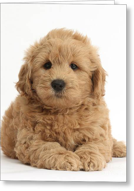 Goldendoodle Greeting Cards - Goldendoodle Puppy Greeting Card by Mark Taylor