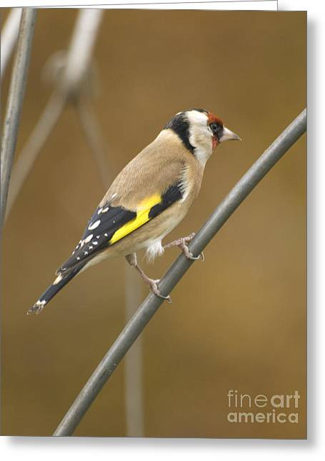 Scrart Greeting Cards - Goldfinch Greeting Card by Steev Stamford