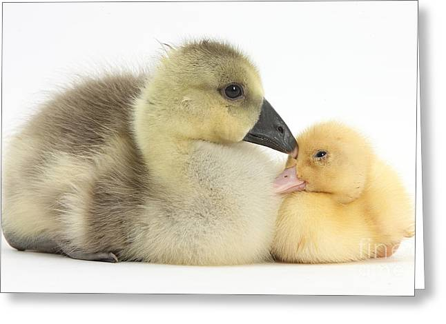Ducklings Greeting Cards - Gosling And Duckling Greeting Card by Mark Taylor