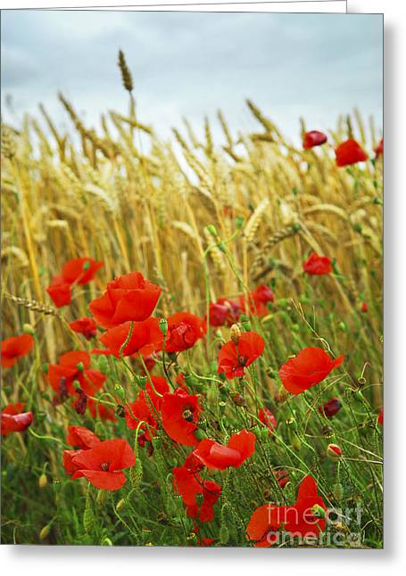 Poppy Photographs Greeting Cards - Grain and poppy field Greeting Card by Elena Elisseeva