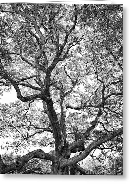 Oaks Photographs Greeting Cards - Granby Oak Greeting Card by HD Connelly