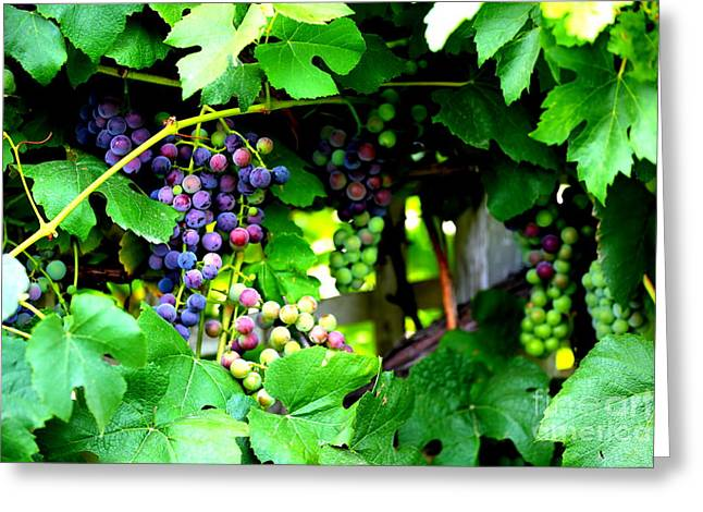 Purple Grapes Photographs Greeting Cards - Grapes on the Vine Greeting Card by Carol Groenen
