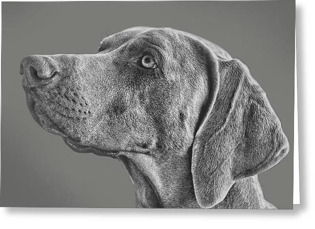 Weimaraners Greeting Cards - Gray Ghost Greeting Card by Larry Linton