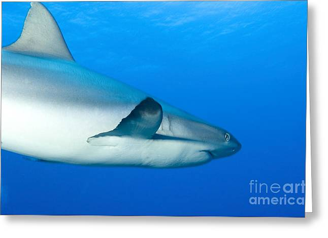 New Britain Greeting Cards - Gray Reef Shark. Papua New Guinea Greeting Card by Steve Jones