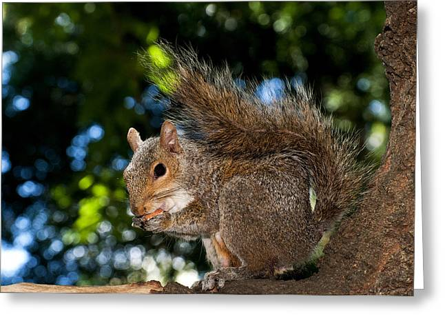 Gray squirrel Greeting Card by Fabrizio Troiani