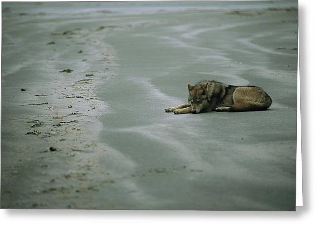 North Vancouver Greeting Cards - Gray Wolf On Beach Greeting Card by Joel Sartore