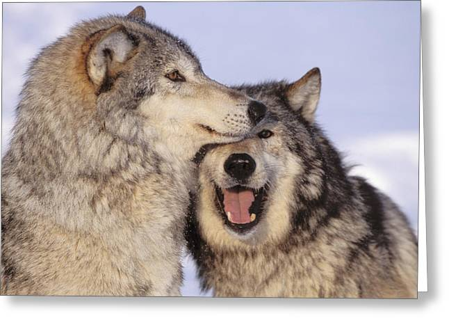 Furry Coat Greeting Cards - Gray Wolves Greeting Card by John Hyde - Printscapes