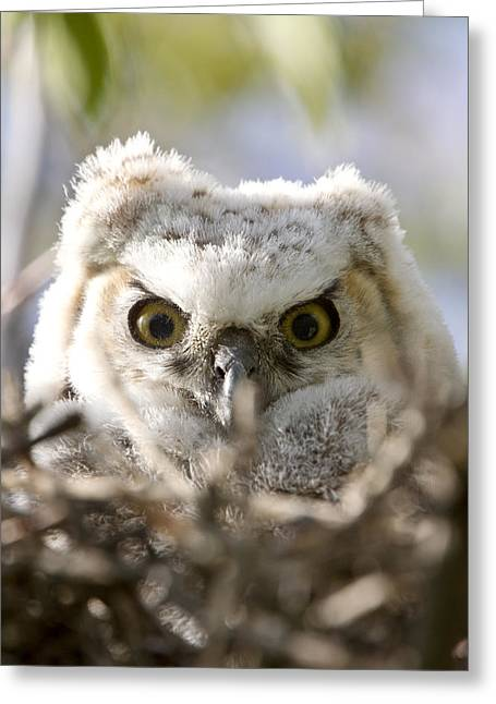 Great Horned Owl Babies Owlets In Nest Greeting Card by Mark Duffy