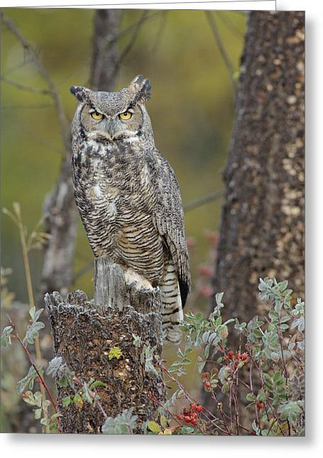 Great Horned Owl In Its Pale Form Greeting Card by Tim Fitzharris