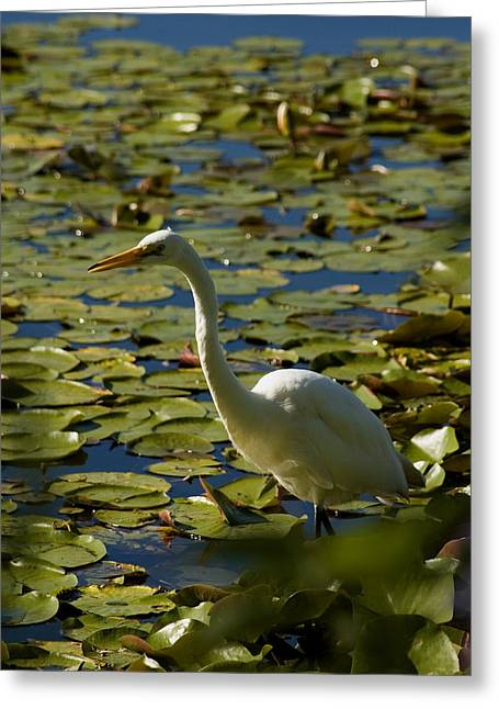 Great White Egret Perched On A Rock Greeting Card by Todd Gipstein