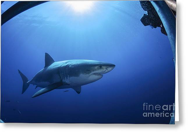 Guadalupe Island Greeting Cards - Great White Shark, Guadalupe Island Greeting Card by Todd Winner