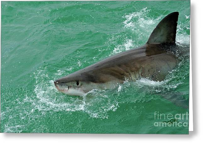 Sami Sarkis Greeting Cards - Great White Shark Greeting Card by Sami Sarkis