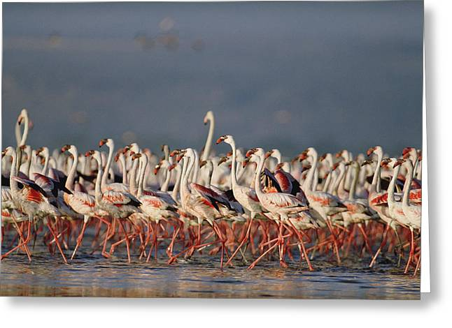 Greater Flamingo Greeting Cards - Greater Flamingo And Lesser Flamingo Greeting Card by Tim Fitzharris
