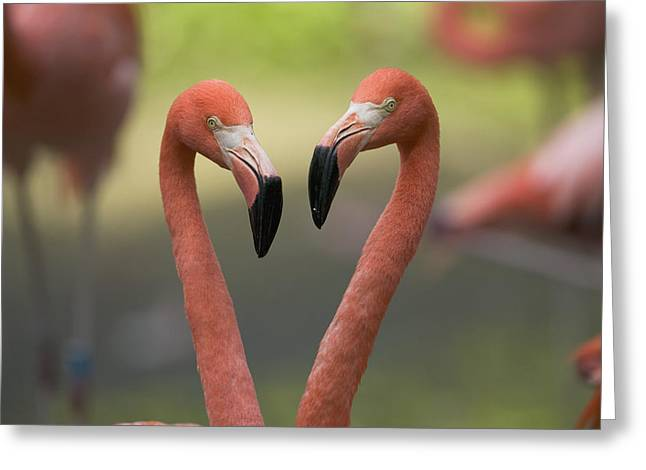 Greater Flamingo Phoenicopterus Ruber Greeting Card by Cyril Ruoso