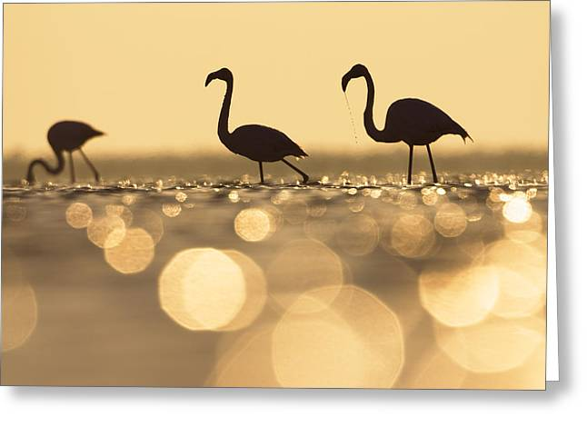 Greater Flamingo Greeting Cards - Greater Flamingo Phoenicopterus Ruber Greeting Card by Konrad Wothe