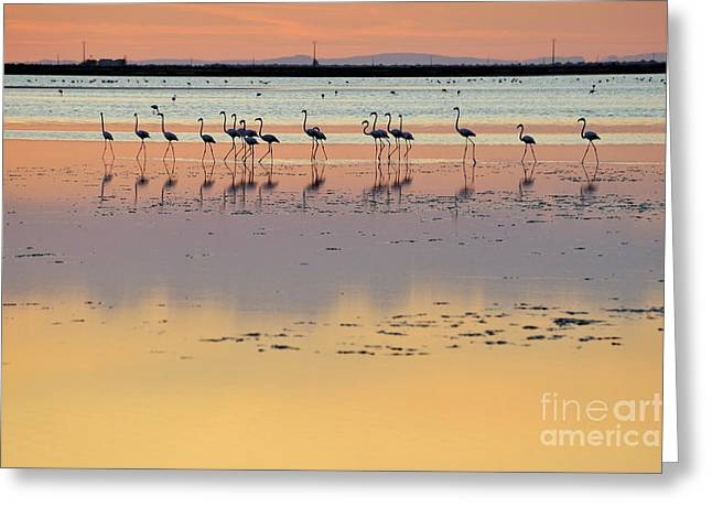 Reflections Of Sky In Water Photographs Greeting Cards - Greater flamingos in pond at sunset Greeting Card by Sami Sarkis
