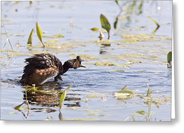 Grebe With Babies Greeting Card by Mark Duffy