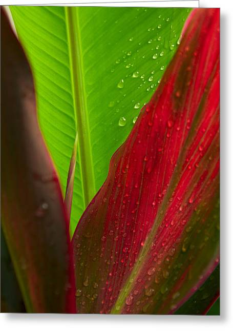 Bush 41 Greeting Cards - Green And Red Ti Plants Greeting Card by Dana Edmunds - Printscapes