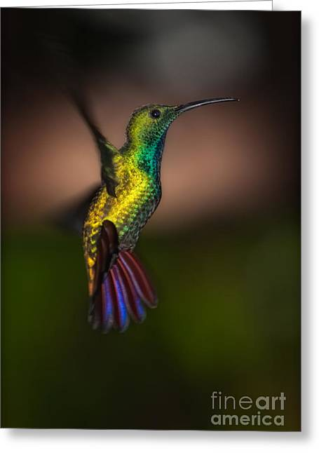 Mango Greeting Cards - Green Breasted Mango Hummingbird Greeting Card by Doug Sturgess
