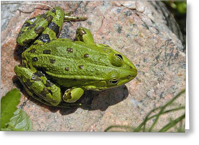 Singly Greeting Cards - Green frog Greeting Card by Matthias Hauser