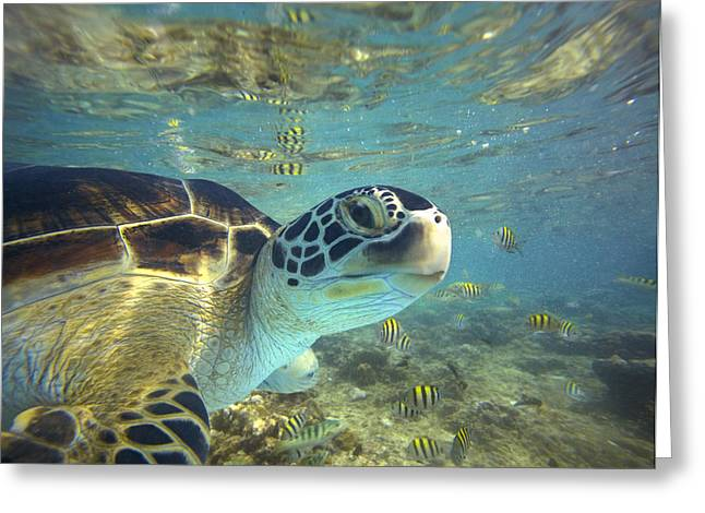 Animals and Earth - Greeting Cards - Green Sea Turtle Balicasag Island Greeting Card by Tim Fitzharris