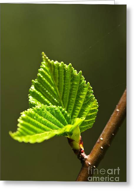 Organic Photographs Greeting Cards - Green spring leaves Greeting Card by Elena Elisseeva