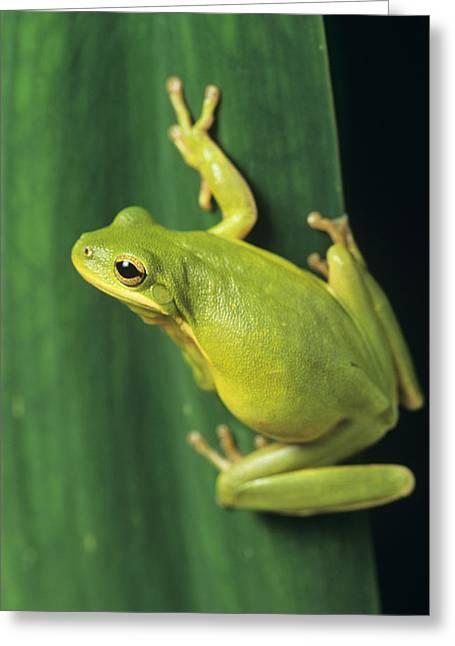 Hylas Greeting Cards - Green Tree Frog Greeting Card by David Aubrey