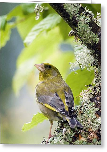 British Fauna Greeting Cards - Greenfinch Greeting Card by Duncan Shaw
