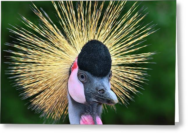 Canon 40d Greeting Cards - Grey Crowned Crane Greeting Card by Joerg Lingnau