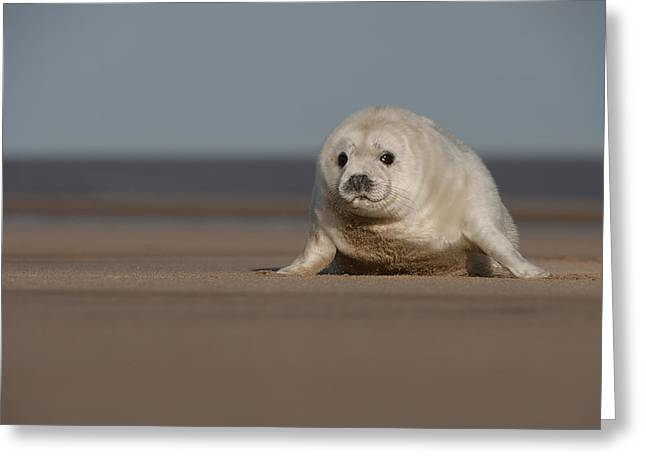 Ocean Mammals Greeting Cards - Grey Seal Pup Greeting Card by Andy Astbury