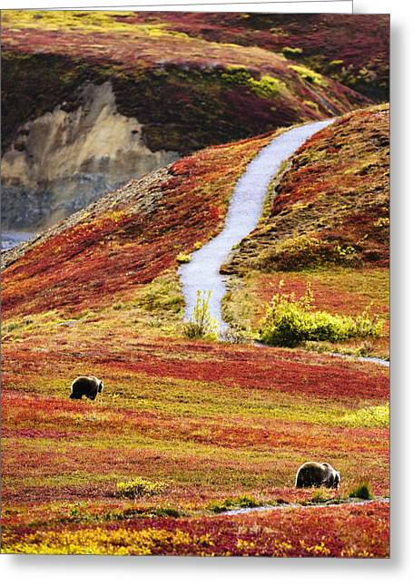 Rearview Greeting Cards - Grizzly Bears And Fall Colours, Denali Greeting Card by Yves Marcoux